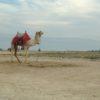 Kamel Totes Meer