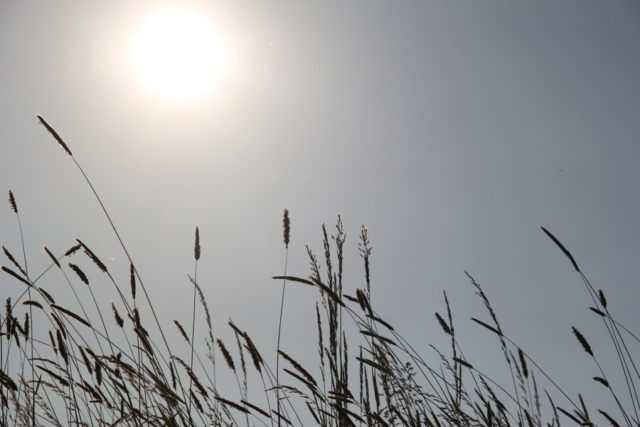 Gräser und Sonne