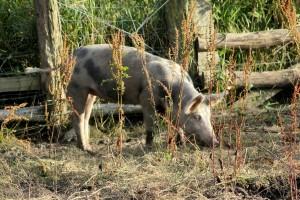 Schwein Bioschwein