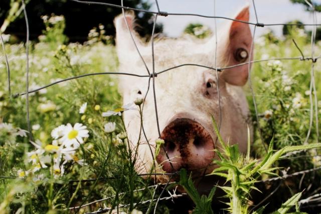 glückliches Bioschwein