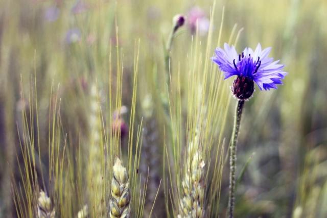 oekologische-landwirtschaft kornblume
